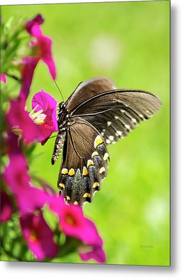Metal Print featuring the photograph Black Swallowtail Butterfly by Christina Rollo