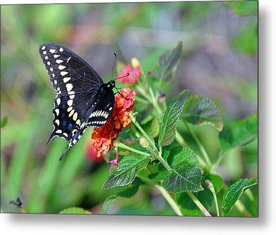 Black Swallowtail Metal Print by Kay Lovingood