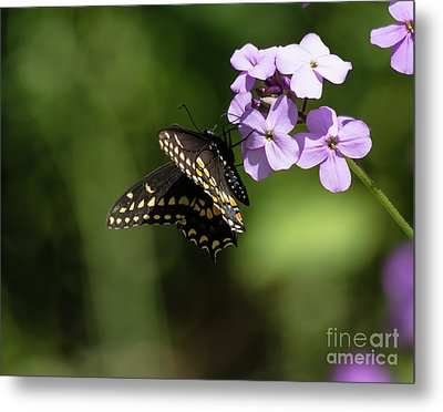 Black Swallowtail On Phlox Metal Print