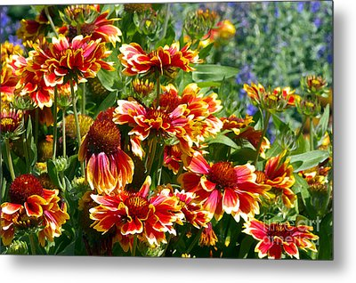 Blanket Flowers Metal Print by Sharon Talson