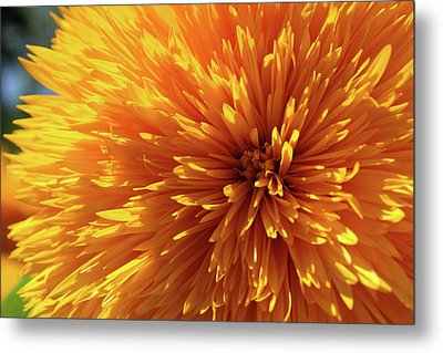 Metal Print featuring the photograph Blooming Sunshine by Marie Leslie