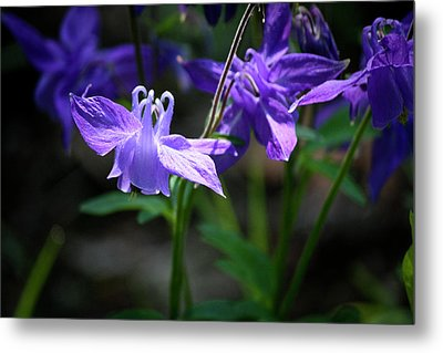 Blue Columbines Metal Print by Teresa Mucha