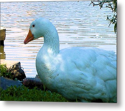 Blue Duck Metal Print by Diane Ferguson
