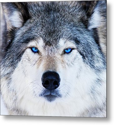 Metal Print featuring the photograph Blue Eyed Wolf Portrait by Mircea Costina Photography