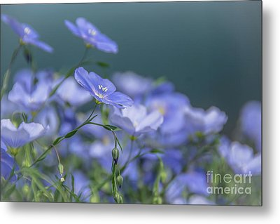 Blue Flax Flowers Metal Print