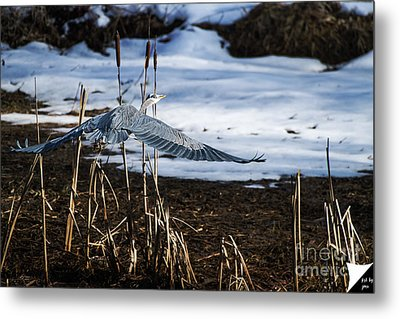 Metal Print featuring the photograph Blue Heron by Jim  Hatch