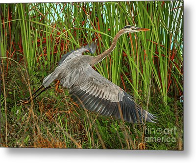 Blue Heron Take-off Metal Print by Tom Claud