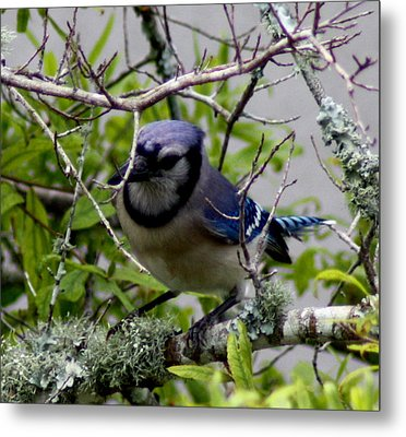 Blue Jay Metal Print by Michael Albright