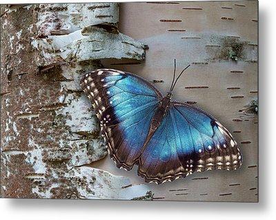 Blue Morpho Butterfly On White Birch Bark Metal Print