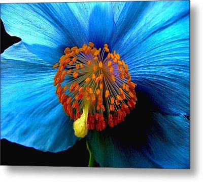 Blue Poppy II - Closeup Metal Print by Robert Nankervis