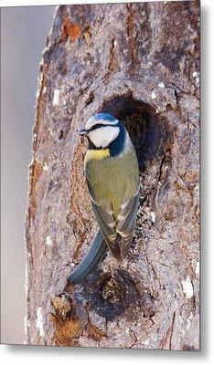 Blue Tit Leaving Nest Metal Print by Cliff Norton
