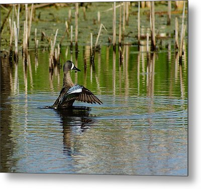 Blue Wing Teal Metal Print by Steven Clipperton