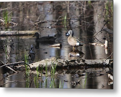 Blue Winged Teals Metal Print by Dave Clark