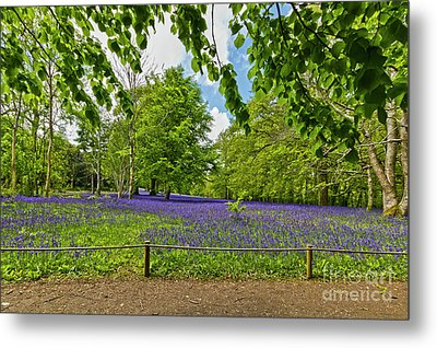 Bluebells At Enys Metal Print
