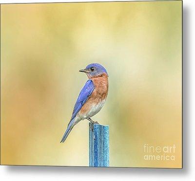Bluebird On Blue Stick Metal Print by Robert Frederick