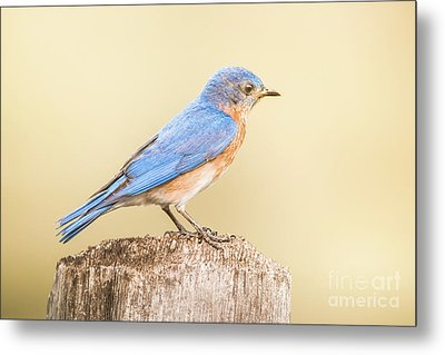 Metal Print featuring the photograph Bluebird On Fence Post by Robert Frederick