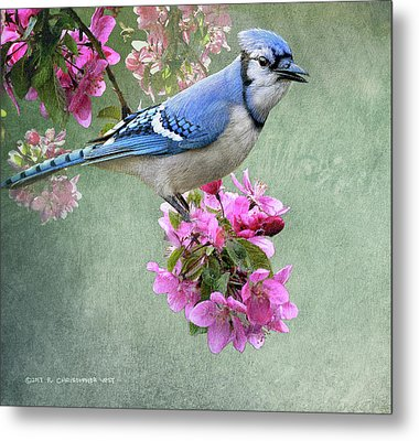 Bluejay On Spring Blossoms Metal Print by R christopher Vest