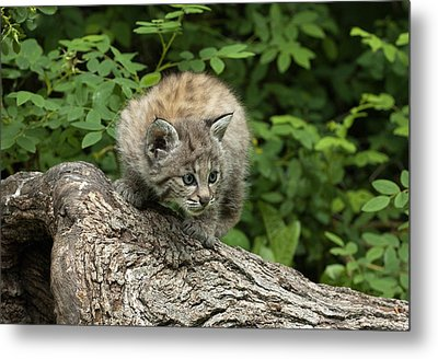 Bobcat Kitten Exploration Metal Print by Sandra Bronstein