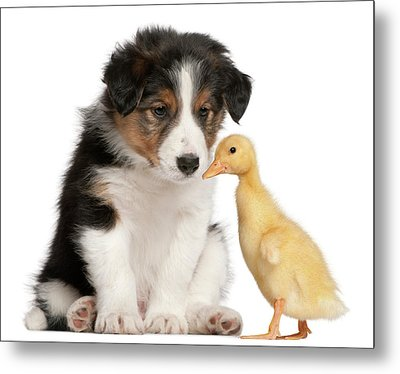 Border Collie Puppy And Domestic Duckling Metal Print by Life On White