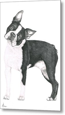 Boston Terrier Metal Print by Murphy Elliott