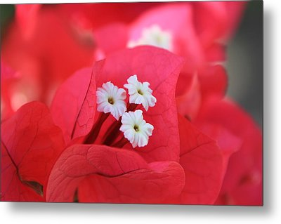 Metal Print featuring the photograph Bougainvilleas And White by Edward R Wisell