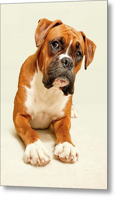 Boxer Dog On Ivory Backdrop Metal Print