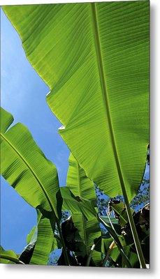 Bright Green Leaves Of Banana Trees Metal Print by Sami Sarkis