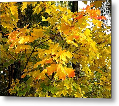 Metal Print featuring the photograph Brilliant Maple Leaves by Will Borden