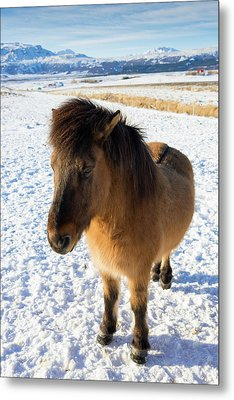 Brown Icelandic Horse In Winter In Iceland Metal Print by Matthias Hauser