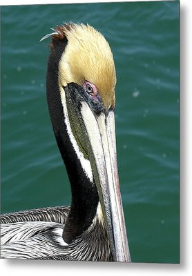 Brown Pelican  Metal Print by Allan  Hughes