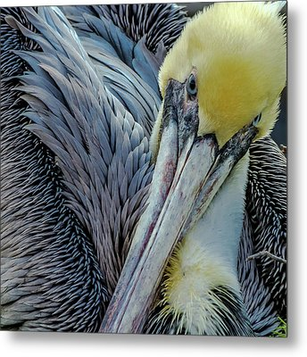 Metal Print featuring the photograph Brown Pelican by Bill Gallagher