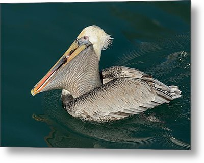 Metal Print featuring the photograph Brown Pelican With A Mouth Full by Bradford Martin