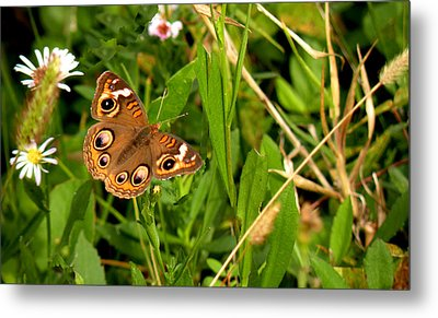 Metal Print featuring the photograph Buckeye Butterfly In Nature by Rosalie Scanlon