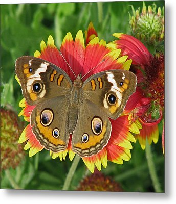Buckeye On Blanketflower Metal Print by Peg Urban