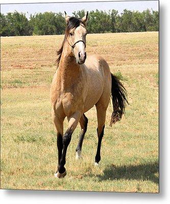 Buckskin Stallion From Front Metal Print by Cheryl Poland