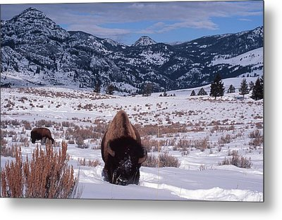 Metal Print featuring the photograph Buffalo In The Rockies by Edward R Wisell