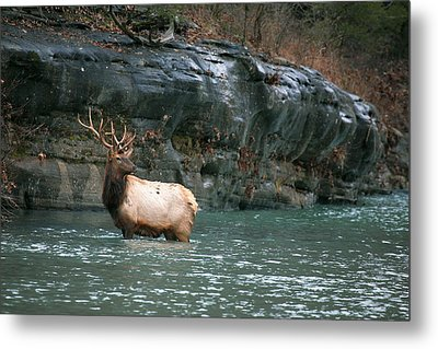 Metal Print featuring the photograph Bull Elk Crossing The Buffalo River by Michael Dougherty