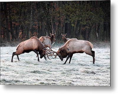 Bull Elk Fighting In Boxley Valley Metal Print by Michael Dougherty