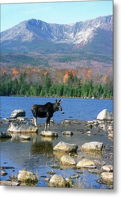 Bull Moose Below Mount Katahdin Metal Print