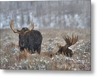 Metal Print featuring the photograph Bull Moose Winter Wandering by Adam Jewell