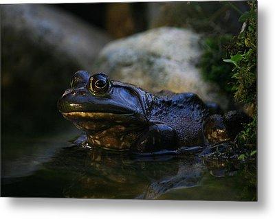 Bullfrog 1 Metal Print