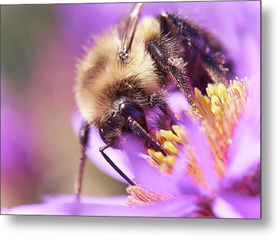 Bumble Bee On Aster Metal Print
