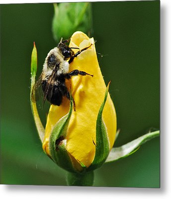 Bumble Bee On Rose  Metal Print by Michael Peychich