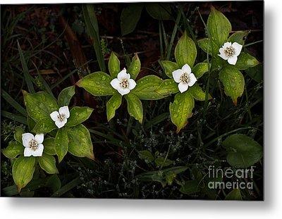 Bunchberry Flowers Metal Print