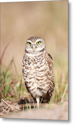 Burrowing Owl Metal Print by Brian Magnier