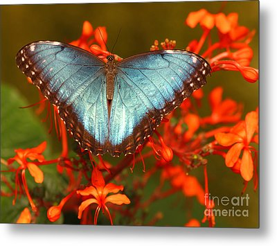 Butterfly Among The Flowers Metal Print by Max Allen