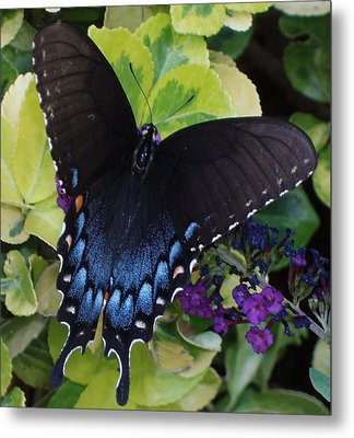 Metal Print featuring the photograph Butterfly Beauty Brown And Blue 2 by Kicking Bear  Productions