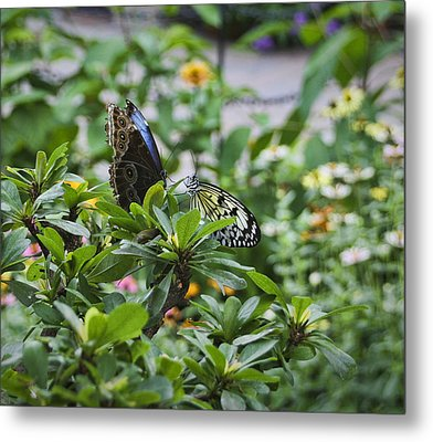 Butterfly Dance Metal Print by Christina Durity