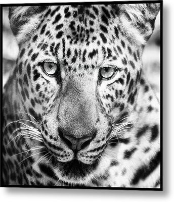 Bw Leopard Metal Print by Stephanie Hayes