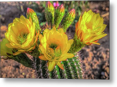 Cactus Flower Metal Print by Mark Dunton